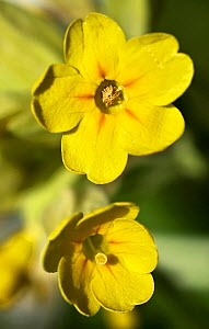 Portraits of Cowslip (Primula veris) flowers,  pin and thrum eyed,  showing heterostyly ie  stigma at different positions. This was noted by Darwin and shows a mechanism to avoid self fertilisation. - Paul  D Stewart