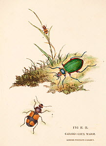 Illustration of Greater crucifix beetle (Panagaeus cruxmajor) from  Donovan's 'Natural History of British Insects', circa 1806.  -  Paul  D Stewart