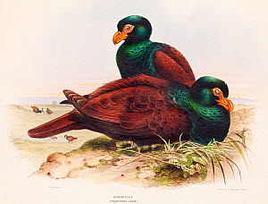 Illustration of Samoan tooth billed pigeon (Didunculus strigirostris) antique folio lithograph Published 1844-49, for 'The Genera of Birds.' by George Edward Gray. Illustrated by David William Mitchel...  -  Paul  D Stewart