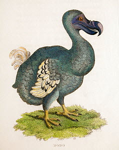 Antique copper plate illustration of a Dodo (Raphys cucullatus) 'Zoological Lectures' by George Shaw, 1809, illustrated by Mrs Griffith. - Paul  D Stewart