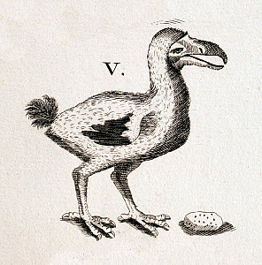 Historical copper plate illustration of Dodo (Raphus cucullatus) and gizzard stone for 'Historiae Naturalis' illustrated by Caspar and Mathias Merian,  1657 before it became extinct  -  Paul  D Stewart