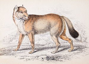 'The Falkland Island Aguara dog' the extinct Falkland wolf (Canis antarctus / Dusicyon australis) plate 23 steel engraving with hand colouring as issued. From  'Natural History of Dogs' Charles Hamilt... - Paul  D Stewart