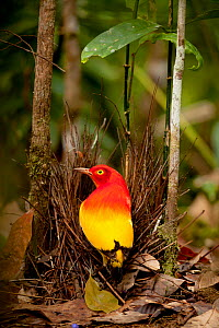 Flame bowerbird (Sericulus aureus) male with bower with berries, Papua New Guinea  -  Paul  D Stewart