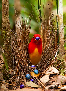 Flame bowerbird (Sericulus aureus) male decorating bower with berries to attract females, Papua New Guinea. - Paul  D Stewart