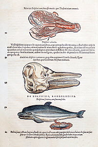 Woodcut illustration of dolphin's placenta, skull and birth by Gesner. Gesner 'Icones Animalium', 1560. Generally animals were grouped by habitat, so dolphins were thought of as fish. However Gesner d...  -  Paul  D Stewart