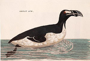 Illustration of Great auk (Pinguinus impennis) swimming, from Welsh naturalist Thomas Pennant's book 'British Zoology' 1776 .This species, now extinct was last sighted in 1852 on the Grand Banks of Ne...  -  Paul  D Stewart