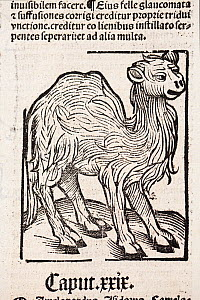 Woodblock illustration of a camel from Ortus (Hortus) sanitatis 1491 - translated from the Latin as 'Garden of Health'. This is the first printed illustration of a camel in literature.  The Hortus was...  -  Paul  D Stewart