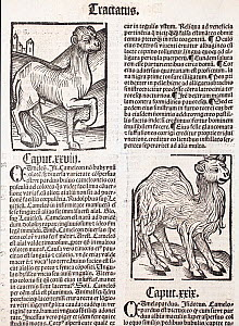 Woodblock illustration of Camels from Ortus (Hortus) Sanitatis 1491  - translated from the latin as 'Garden of Health'. This is the first printed illustration of a camel in literature. The Hortus was...  -  Paul  D Stewart