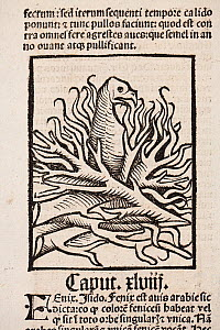Woodblock illustration of a Phoenix in her nest of fire from Ortus (Hortus) Sanitatis 1491- translated from the Latin as 'Garden of Health'.  The Hortus was the first printed natural history encyclopa...  -  Paul  D Stewart