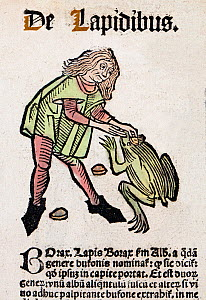 1491 Woodblock illustration of from Ortus (Hortus) sanitatis - translated from the Latin as 'Garden of Health'. Shows an apothecary removing a toad stone bezoar from a large toad's 'third eye'. Toad s...  -  Paul  D Stewart