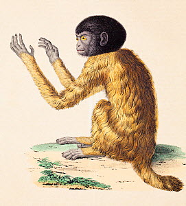 Illustration of a Black headed uakari (Cacajao melanocephalus) engraving from a sketch by Alexander von Humboldt and Aime Bonpland, included in their volume on comparative zoology and anatomy. The ske...  -  Paul  D Stewart