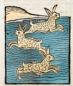 Woodblock illustration of Sea Hares from Ortus (Hortus) Sanitatis 1491 - translated from the Latin as 'Garden of Health'. During the middle ages all manner of land animals were thought to have their o...  -  Paul  D Stewart