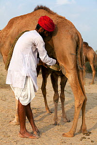 Tribesman from Northern India milking a Dromedary camel (Camelus dromedarius) while juvenile stimulates milk production by nuzzling. Juvenile camels are a reservoir for middle east respiratory syndrom...  -  Paul  D Stewart