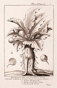 Historical illustration of Mandrake (Mandragora officinarum) flowers and fruits from the Paris Royal Botanic Garden. Engraving by Stumpf, in 'Dictionarium, Historicum, Criticum, Chronologicum, Geograp... - Paul  D Stewart