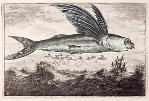 Illustration of Flying fish (Excocoetus) jumping out of water from , 'An Embassy from the East India Company of the United Provinces' by Johan Nieuhof, 1693.  -  Paul  D Stewart