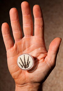 Fossilized hand of small predatory Permian reptile (Captorhinus), held in human hand. Humans share five fingered (pentadactyl) hands with many ancestors going back across 300 million years of evolutio...  -  Paul  D Stewart