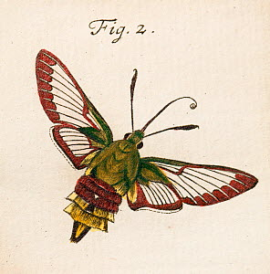 Illustration of adult Broad bordered bee hawk moth (Hemaris fuciformis) copperplate art by August Johann Roesel von Rosenhof, from his work I'nsect Amusements' 1744. August  -  Paul  D Stewart
