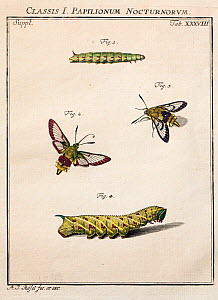 Portrait of adult and larvae of the Broad bordered bee hawk moth (Hemaris fuciformis) and Narrow bordered Bee hawk moth (H. tityus) by August Johann Rosel von Rosenhof from his work 'Insect Amusements...  -  Paul  D Stewart