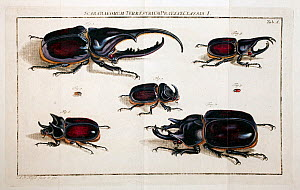 Illustration of various large rhinoceros beetles (Dynastinae) by August Johann Rosel von Rosenhof, from his works published in 'Insecten' 1762  -  Paul  D Stewart