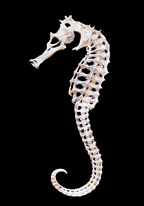 Skeleton of a seahorse (Hippocampus sp.) showing the remarkable structure of bones that form a virtual exoskeleton, with few deep internal bones, in this unusual vertebrate group. - Paul  D Stewart