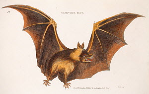 Illustration of a Vampire bat (Vespertilio vampyrus)  by Heath published 1800 in George Shaw 'General Zoology or Systematic Zoology', in which the Vampire bats feeding habits are described. However th...  -  Paul  D Stewart
