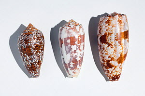 Three shells of different species of large predatory cone shells which are highly venomous but potentially have powerful painkillling  properties; from the top: the Geography cone (Conus geographicus)...  -  Paul  D Stewart
