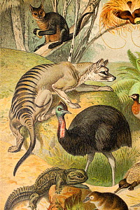 Australasian fauna by Gustav Mutzel, 1892 - published in 'Meyer's Conversations Lexicon' of 1902. Including a Thylacine (Thylacinus cynocephalus), Cassowary (Casuarius), Echidna (Tachyglossidae), Duck...  -  Paul  D Stewart