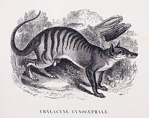 Illustration of  extinct Thylacine (Thylacinus cynocephalus) by the French naturalist and physician Jean-Emmanuel-Marie Le Maout (1799-1877), published in Les Trois Regnes de la Nature, 1853.  -  Paul  D Stewart