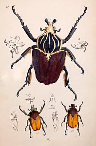 Illustration of Goliath Beetle (Goliathus goliatus) and Chafer beetles, from Arcana entomologica, or, Illustrations of new, rare, and interesting insects by J.O. Westwood, 1845  -  Paul  D Stewart