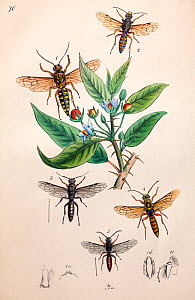 Illustration of Hornets and Wasps, from Arcana entomologica, or, Illustrations of new, rare, and interesting insects by J.O. Westwood, 1845.  -  Paul  D Stewart