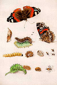 Illustration of Red admiral butterfly (Vanessa atalanta) life stages and parasites. By Maria Sybella Merian 1683, from her book 'Caterpillars, Their Wondrous Transformation and Peculiar Nourishment fr...  -  Paul  D Stewart