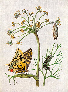 Illustration of  Swallowtail Butterfly (Papilio machaon) on Fennel by Maria Sybella Merian 1683, from her book 'Caterpillars, Their Wondrous Transformation and Peculiar Nourishment from Flowers'. Meri...  -  Paul  D Stewart
