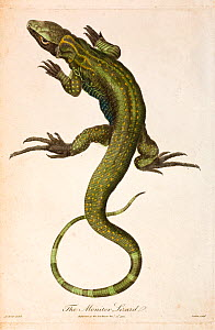 Illustration of Monitor lizard (Lacerta monitor)  now known as the Nile monitor (Varanus niloticus) from J. Frid Gmelin and Carl Linnaeus (posthumous). 'A Genuine and Universal System of Natural Histo...  -  Paul  D Stewart