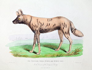 Illustration of African hunting dog (Lycaon pictus) profile, from W. Berthoud delt. W. Panormo sculp. from 'The wonders of the animal kingdom'. London, T. Kelly, 1830. This image is described as 'Tort...  -  Paul  D Stewart