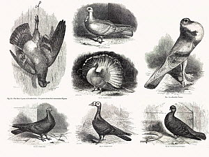 Composite of original line drawings from Darwin's 'Variation in Animals and Plants under Domestication' 1868. The ancestral form, the rock pigeon hangs up dead to the left while some of the many varie...  -  Paul  D Stewart
