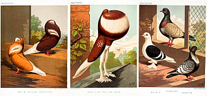 Three illustrations from Cassell's Pigeon Book, 1874 showing domestic pigeons: Red and Yellow Jacobin, Red-pied pouter cock with crop inflated, and Shield, Hyacinth and Suabian.  -  Paul  D Stewart