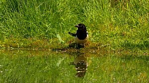 Magpie (Pica pica) drinking from a pond, Bedfordshire, England, UK, June.  -  Dave Bevan
