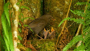 Female Blackbird (Turdus merula) feeding chicks at nest, removing faecal sacs, Carmarthenshire, Wales, UK, June. - Dave Bevan