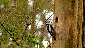 Male Great spotted woodpecker (Dendrocopos major) entering nest hole and leaving with a faecal sac, Carmarthenshire, Wales, UK, June.  -  Dave Bevan