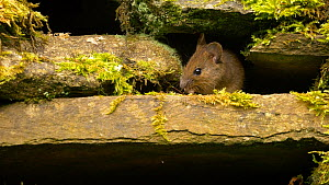 Wood mouse (Apodemus sylvaticus) emerging from a hole in a dry stone wall, feeding, Carmarthenshire, Wales, UK, June.  -  Dave Bevan