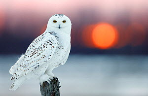 Snowy owl (Bubo scandiaca) female, with lights behind,  Canada, February. - Markus Varesvuo