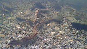 Pair of Sea lampreys (Petromyzon marinus) spawning, one attempting to move a rock, River Wye, UK, June. - John Waters