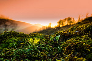 Radnor lily (Gagea bohemica) the rarest flower in the UK at sunset, Stanner Rocks National Nature Reserve, Powys, Wales, UK, February. Commended in the BWPA (British Wildlife Photography Awards) Compe...  -  Phil Savoie