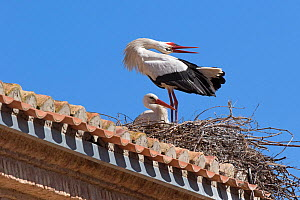 White stork (Ciconia ciconia) male displaying to female at nest, Alfaro, Spain Aril - David Kjaer
