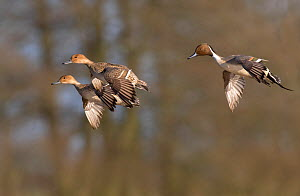 Northern pintail (Anas acuta) male and two females in flight, Gloucestershire, UK January  -  David Kjaer