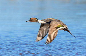 Northern pintail (Anas acuta) flying just above water, Gloucestershire, UK January  -  David Kjaer