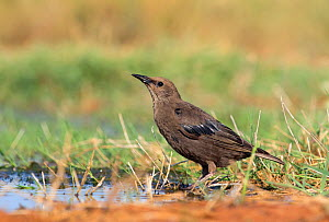 Spotless starling (Sturnus unicolor) juvenile drinking, Spain July  -  David Kjaer