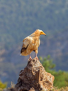 Egyptian vulture (Neophron percnopterus) perched on rock, Pyrenees, Spain July  -  David Kjaer