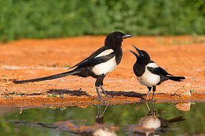 Magpie (Pica pica) two interacting, Spain, July  -  David Kjaer
