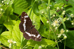 White admiral (Ladoga camilla) Blackdog Wood, Wiltshire, UK  -  David Kjaer